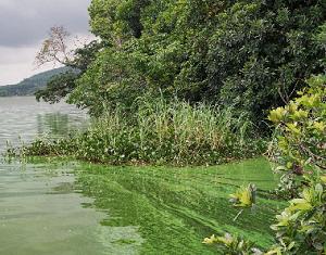 Prolifération de cyanobactéries