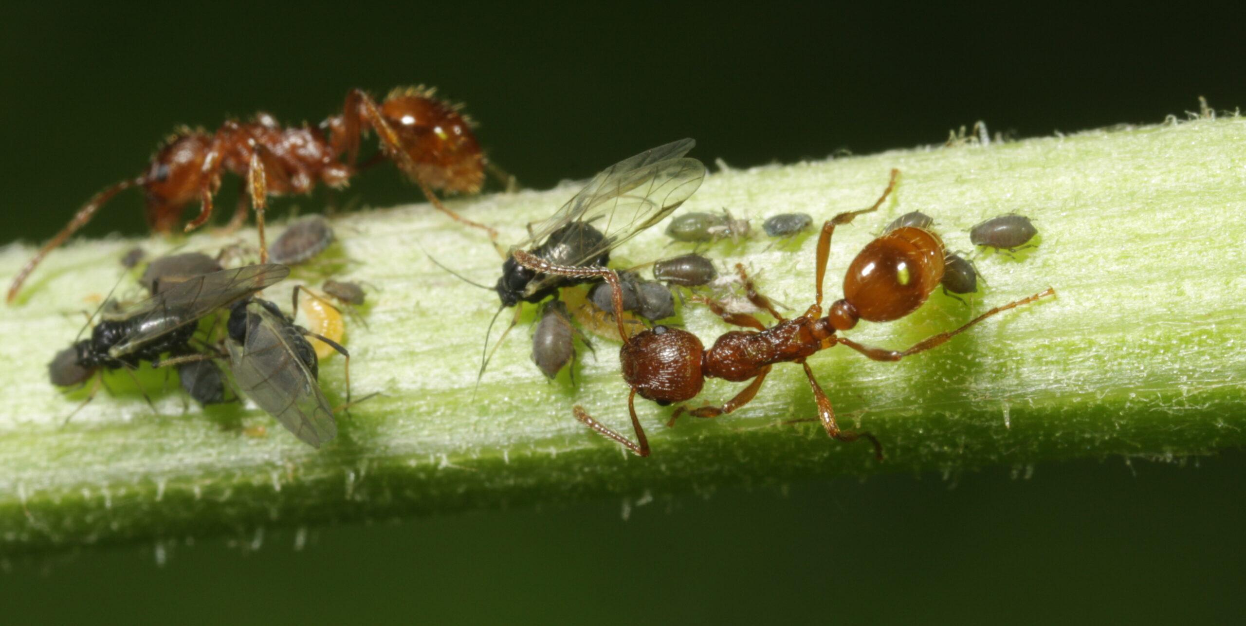 fourmis et pucerons