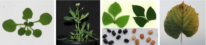 Arabidopsis, Eutrema, Vigna et Tilia