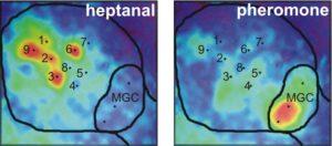 carte d'activité en imagerie calcique du lobe antennaire à un composé volatil de plante et à la phréromone