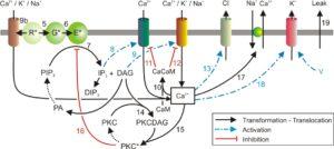 modèle de la cascade de transduction olfactive