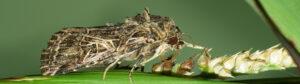 Egyptian cotton leafworm Spodoptera littoralis