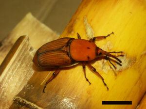 Red palm weevil Rhynchophorus ferrugineus