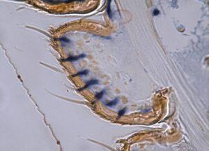 Localisation par hybridation in situ des sites d'expression des protéines de liaison aux phéromones dans les antennes de papillon