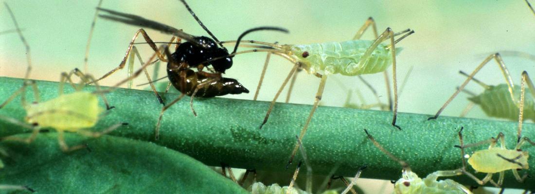 La guêpe parasitoïde