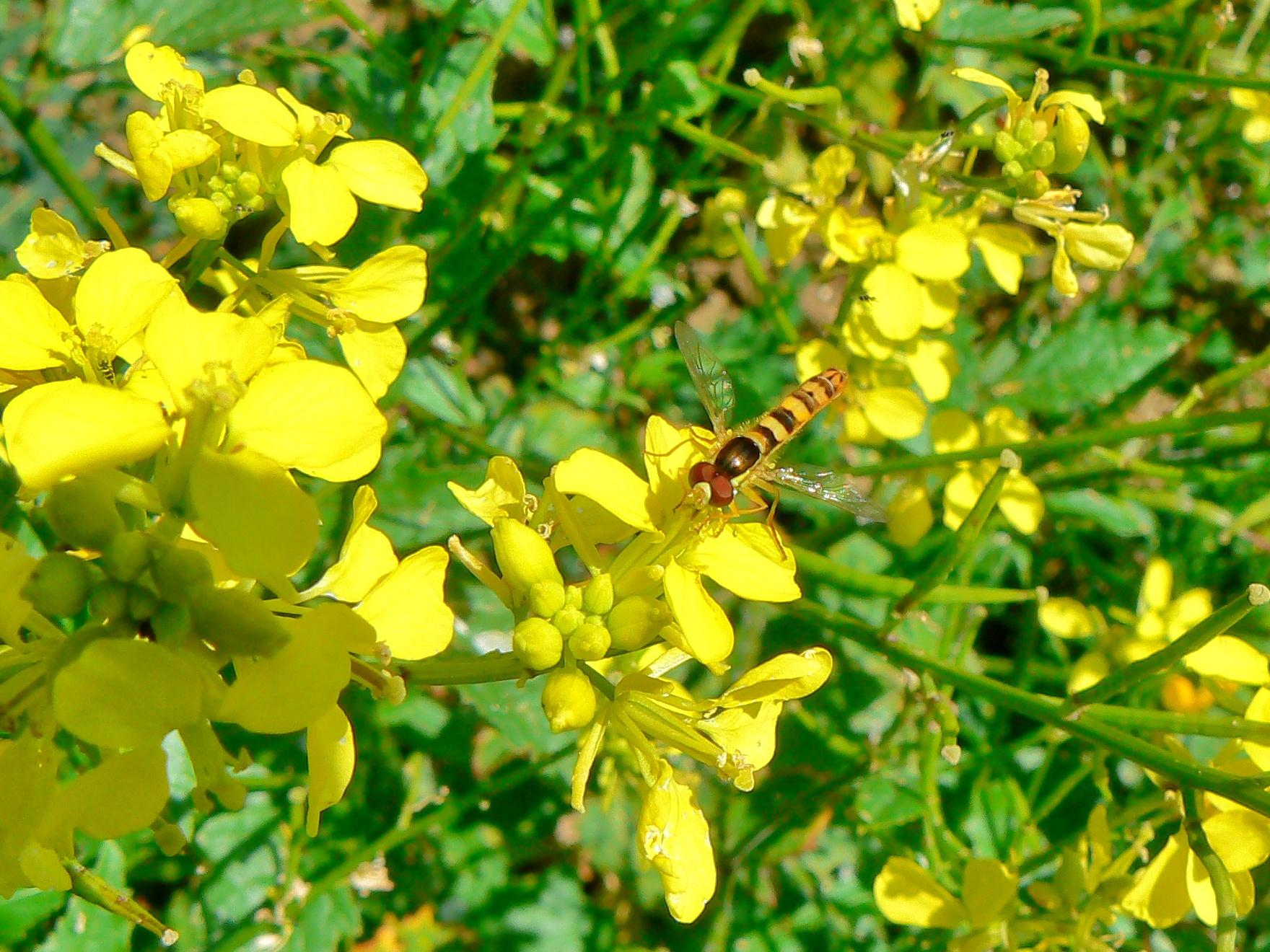 Syrphe porte-plume (Sphaerophoria scripta), un visiteur assidu de la moutarde blanche (Sinapis alba) du printemps à l'automne. (©Benoît Geslin)